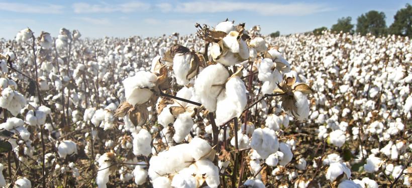 cotton-4649804